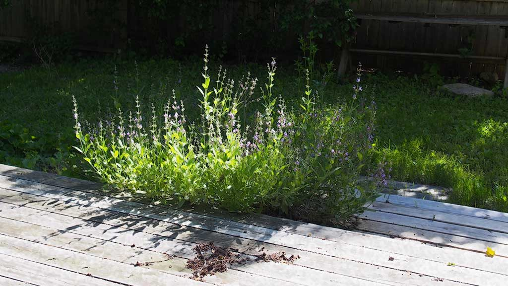 June breeze, Woodstock, woods, fence, yard, sage