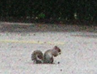 -- grey squirrel --