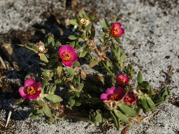 Portulaca, photo by Hans Hillewaert via Wikimedia Commons